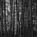 Bamboos In Korakuen @ Okayama