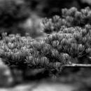 Pine In Korakuen Garden @ Okayama