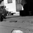 Dog Looked Lifeless @ Laos