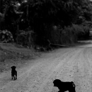 Dogs In The Graveled Road