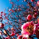 Winter Cherry Blossom In Shinjuku Gyoen Park @ Tokyo