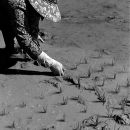 Woman Was Juts Planting Rice @ Laos