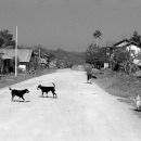 Dogs Playing In The Dirt Road @ Laos