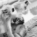 Family Of The Monkey