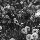 Dandelions Live In Jindai Botanical Garden