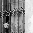 Dog From The Boarded Window
