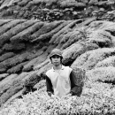 Man In The Tea Field @ Malaysia