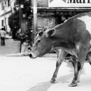 Cow In The Street @ Nepal