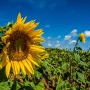 Sunflowers In Miyako Island