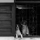 格子窓の向こうの犬