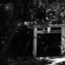 Torii In Tree Shade