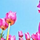 Skyward Tulip