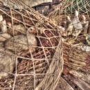 Chickens In The Net