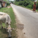 Scrag Cow By The Wayside @ India