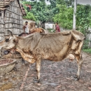 Cow In The Middle Of The Road @ India