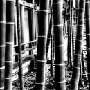 Bamboos In Shrine