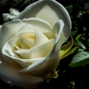 日向の薔薇