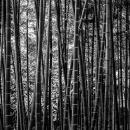 Bamboos In Korakuen