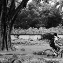 Big Tree And A Bicycle @ India