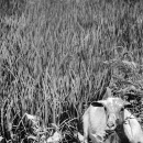 Goat Was Sitting In The Tussock @ Philippines