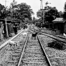 Goats On The Railway @ Bangladesh