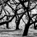 Cherry Trees In Shinjuku Gyoen Park @ Tokyo