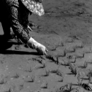 Woman Was Juts Planting Rice