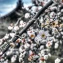 Plum Blossoms In Shoun-ji