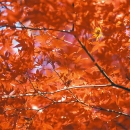 Maple Tree @ Tokyo
