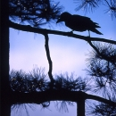 Silhoutte Of A Crow @ Tokyo