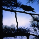 Silhoutte Of A Crow