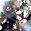 White Blossoms Of Japanese Apricot @ Tokyo