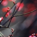 Red Blossoms Of Japanese Apricots