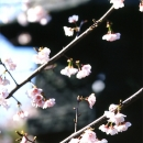 Cherry Blossoms Beside A Stone Lantern @ Tokyo
