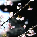 Cherry Blossoms Beside A Lantern