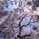 Cherry Blossoms Falling Down @ Tokyo