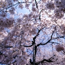 Cherry Blossoms Falling Down