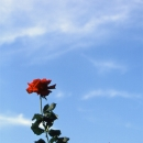 Roses Stretching To The Sky @ Tokyo