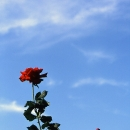 Roses Stretching To The Sky