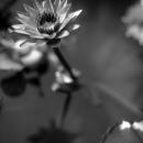Flower Of Lotus In A Jar
