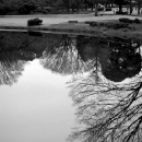 Trees On The Surfece Of A Pond