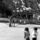 Cherry Blossoms And Kids