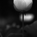 Single Flower Of Lotus