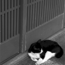 Cat In Front Of A Sliding Door @ Kyoto