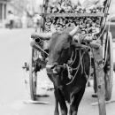 Cow Carriage