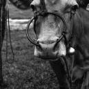 大きな鼻輪を付けた牛の顔