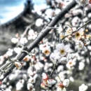Plum Blossoms In Shoun-Ji