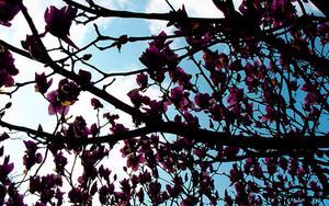 グラバー園の木蓮