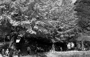 称名寺の銀杏