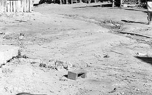 アカ族の集落を歩き回るイノブタ